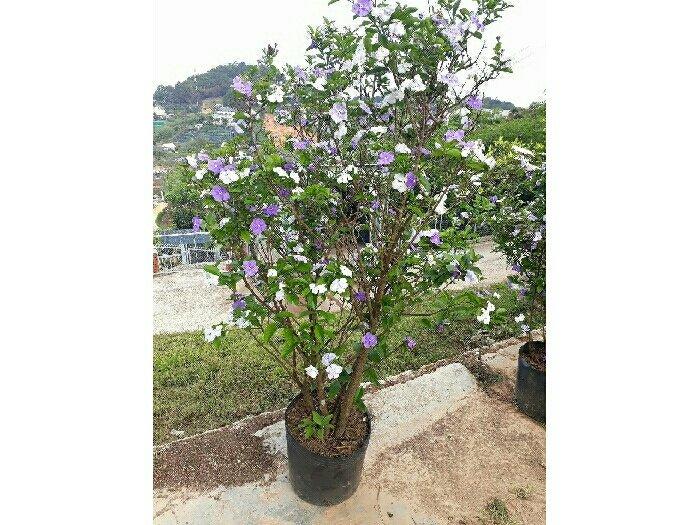 Hoa lài Nhật2