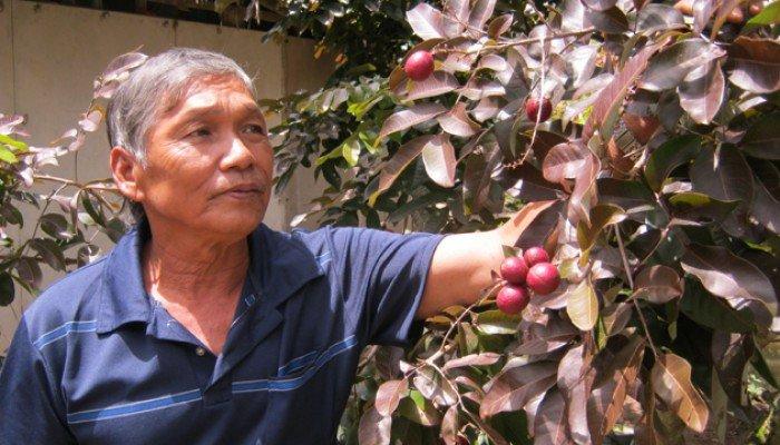Bán cây giống nhãn tím, nhãn không hạt, chuẩn giống, giao cây toàn quốc.0