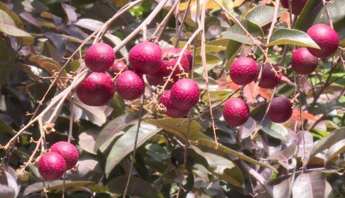 Bán cây giống nhãn tím, nhãn không hạt, chuẩn giống, giao cây toàn quốc.1