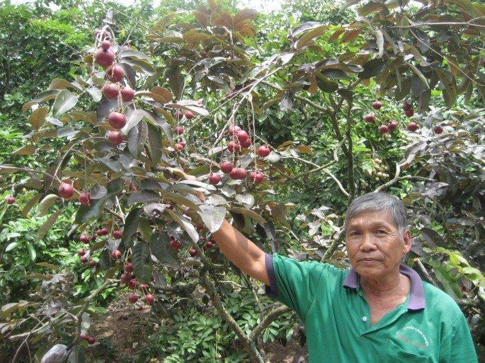 Bán cây giống nhãn tím, nhãn không hạt, chuẩn giống, giao cây toàn quốc.2