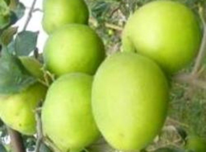 Bán giống táo D28, chuẩn giống, số lượng lớn, giao cây toàn quốc