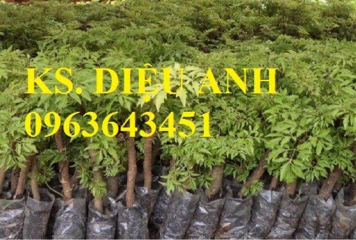 Chuyên cây giống đinh lăng, đinh lăng nếp lá nhỏ, số lượng lớn, bảo hành cây giống, bao tiêu sản phẩm đầu ra.2