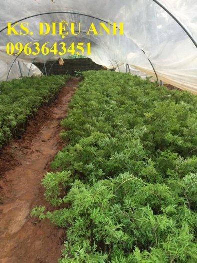 Chuyên cây giống đinh lăng, đinh lăng nếp lá nhỏ, số lượng lớn, bảo hành cây giống, bao tiêu sản phẩm đầu ra.3