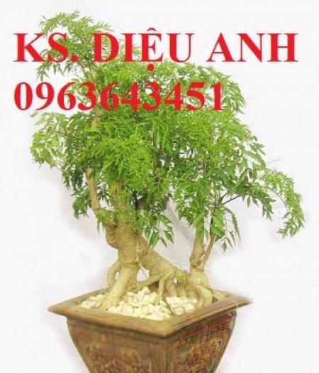 Chuyên cây giống đinh lăng, đinh lăng nếp lá nhỏ, số lượng lớn, bảo hành cây giống, bao tiêu sản phẩm đầu ra.8