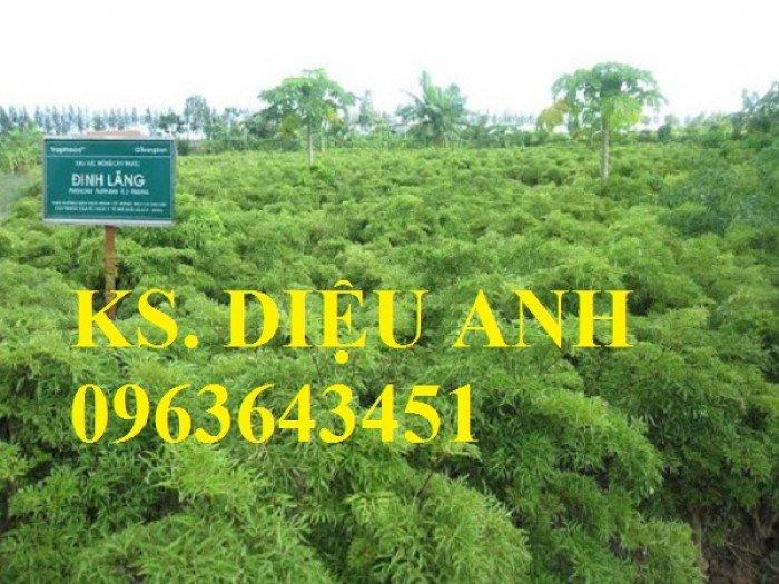 Chuyên cây giống đinh lăng, đinh lăng nếp lá nhỏ, số lượng lớn, bảo hành cây giống, bao tiêu sản phẩm đầu ra.9