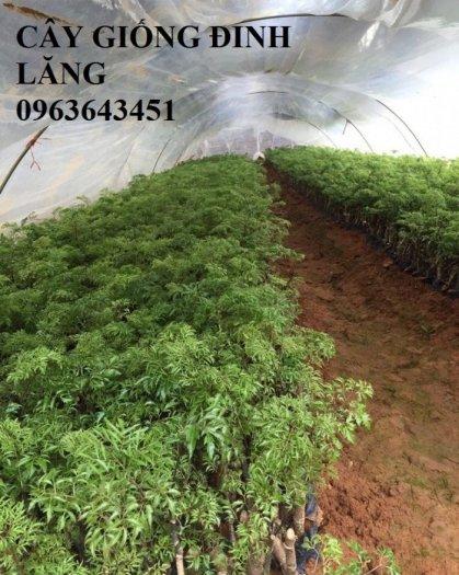 Chuyên cây giống đinh lăng, đinh lăng nếp lá nhỏ, số lượng lớn, bảo hành cây giống, bao tiêu sản phẩm đầu ra.10