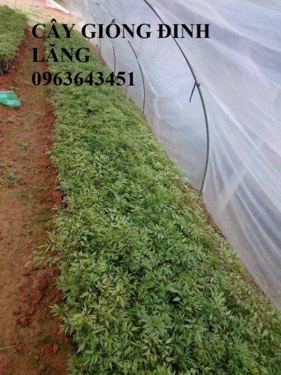 Chuyên cây giống đinh lăng, đinh lăng nếp lá nhỏ, số lượng lớn, bảo hành cây giống, bao tiêu sản phẩm đầu ra.11