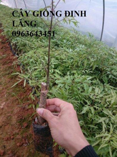 Chuyên cây giống đinh lăng, đinh lăng nếp lá nhỏ, số lượng lớn, bảo hành cây giống, bao tiêu sản phẩm đầu ra.12