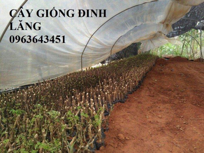 Chuyên cây giống đinh lăng, đinh lăng nếp lá nhỏ, số lượng lớn, bảo hành cây giống, bao tiêu sản phẩm đầu ra.13