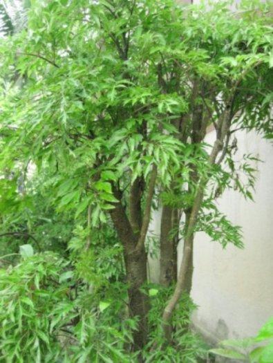 Chuyên cung cấp giống cây đinh lăng,đinh lăng nếp,đinh lăng,đinh lăng ta,đinh lăng lá nhỏ3