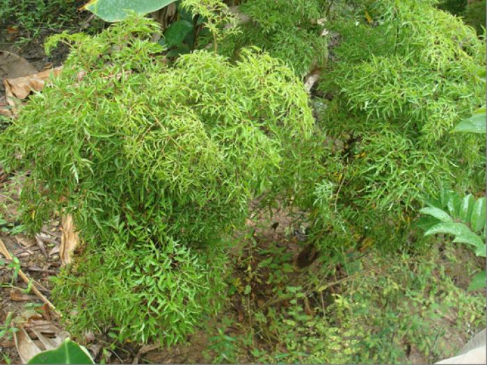 Chuyên cung cấp giống cây đinh lăng,đinh lăng nếp,đinh lăng,đinh lăng ta,đinh lăng lá nhỏ5