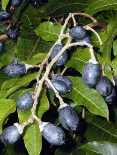 Bán giống cây trám đen, số lượng lớn, giao cây toàn quốc.1