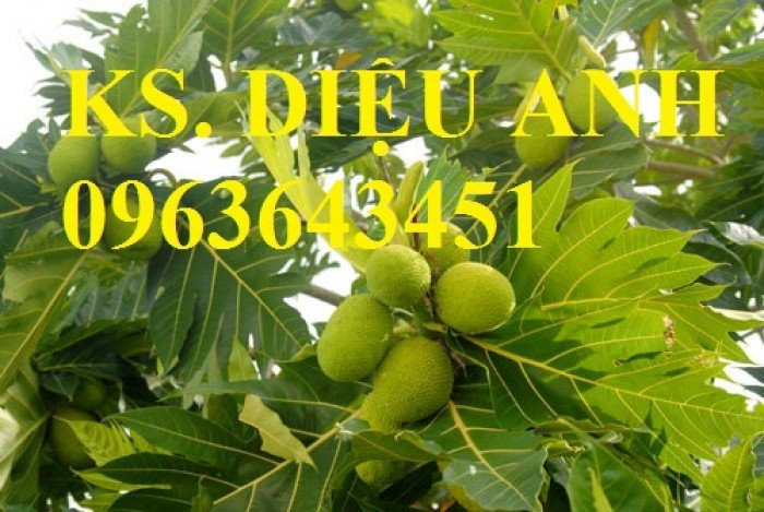 Chuyên cung cấp cây giống sấu ghép, sấu hạt, sake, sa kê, măcca, mắc ca, macca chuẩn giống4