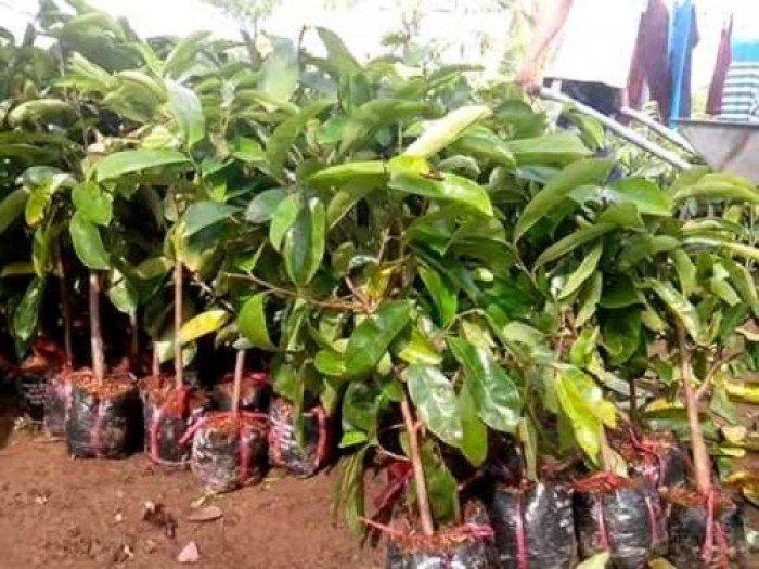 Bán cây giống mãng cầu xiêm, số lượng lớn, giao cây toàn quốc.2