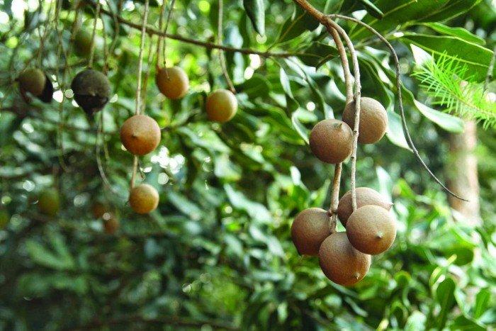 Bán cây giống măcca, số lượng lớn, giao cây toàn quốc.3