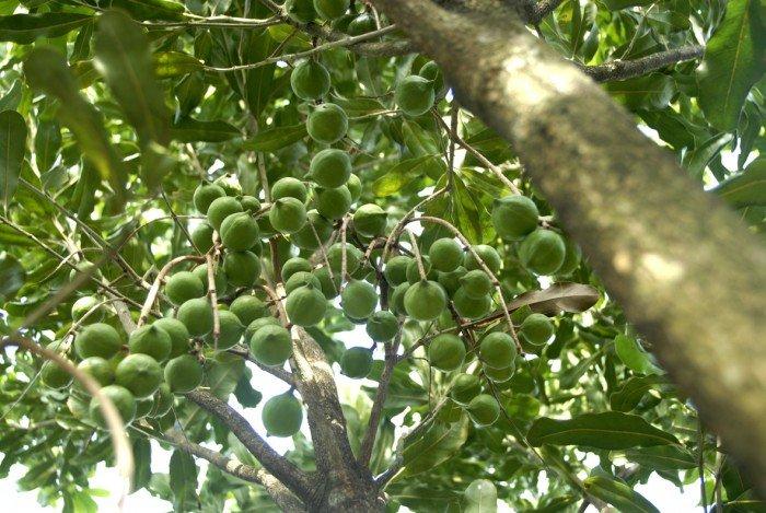 Bán cây giống măcca, số lượng lớn, giao cây toàn quốc.4