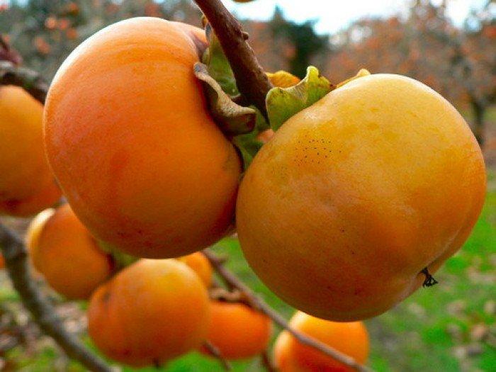 Bán cây giống hồng không hạt, số lượng lớn, giao cây toàn quốc.4