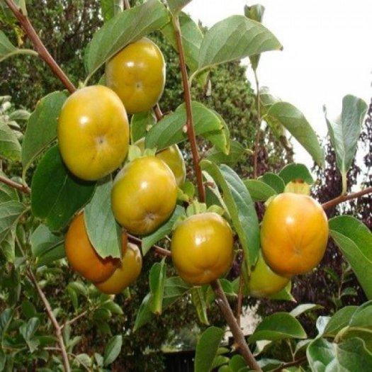 Bán cây giống hồng giòn, chuẩn giống, số lượng lớn, giao cây toàn quốc.1