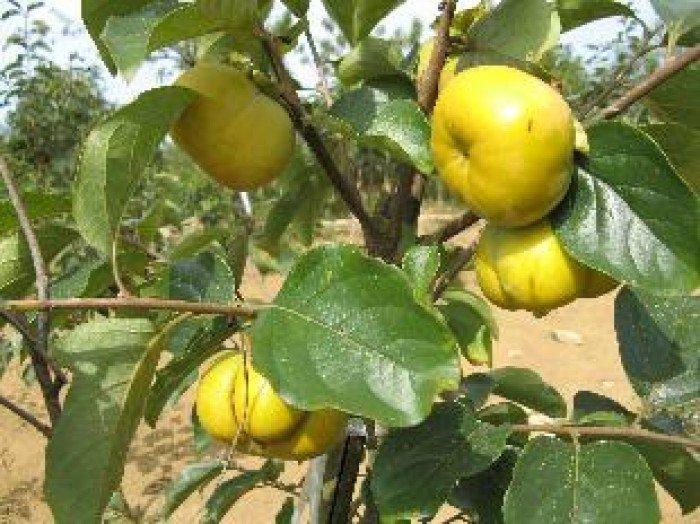 Bán cây giống hồng giòn, chuẩn giống, số lượng lớn, giao cây toàn quốc.2