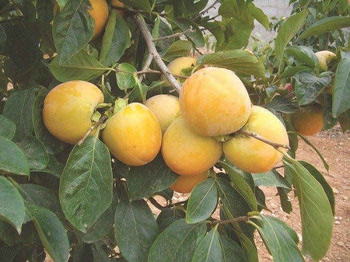 Bán cây giống hồng giòn, chuẩn giống, số lượng lớn, giao cây toàn quốc.3