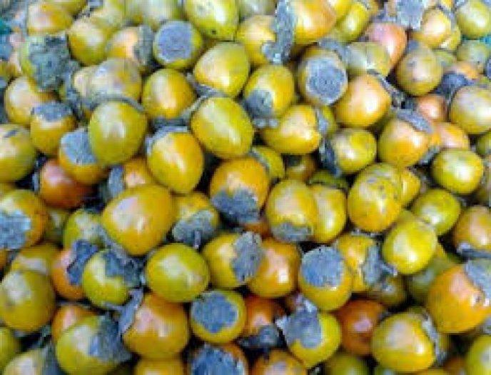 Bán cây giống hồng giòn, chuẩn giống, số lượng lớn, giao cây toàn quốc.4
