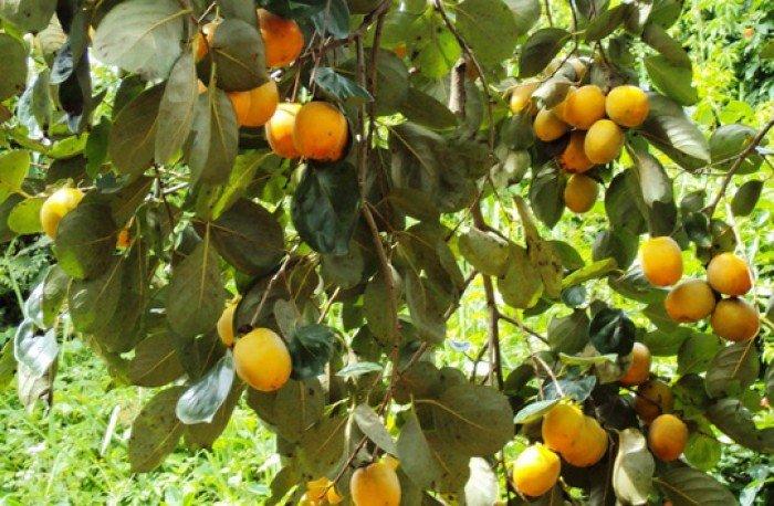Bán cây giống hồng giòn, chuẩn giống, số lượng lớn, giao cây toàn quốc.5