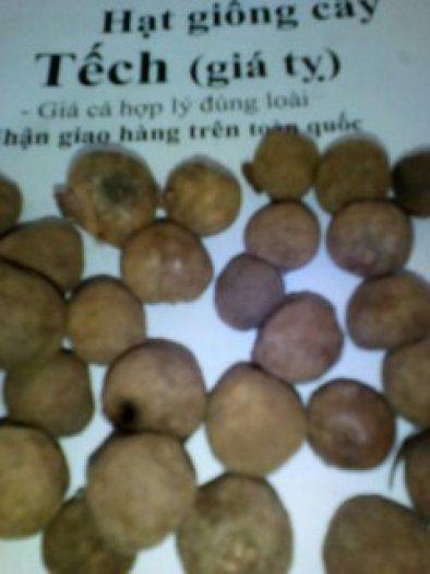 hạt giống cây tếch (giá tỵ)0