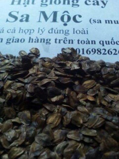 hạt giống cây sa mộc lh 016982626263
