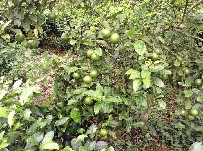 Bán cây giống chanh đào, số lượng lớn, giao cây toàn quốc.2