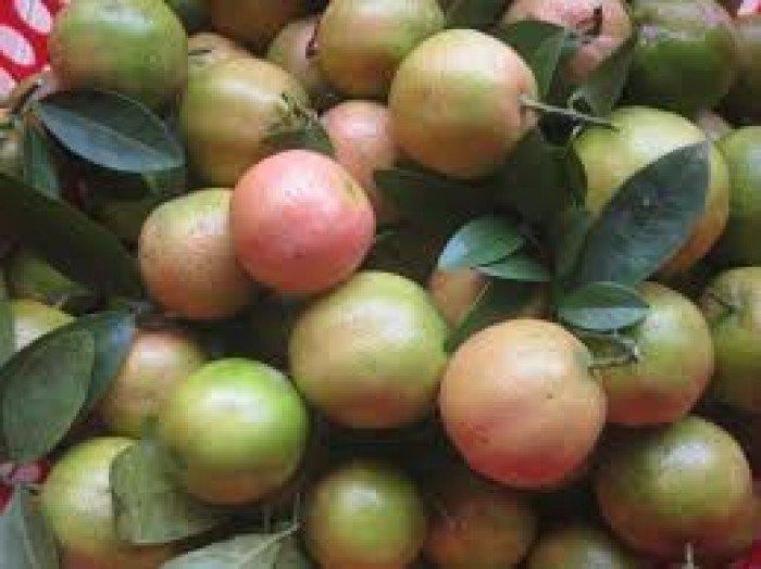 Bán cây giống chanh đào, số lượng lớn, giao cây toàn quốc.5