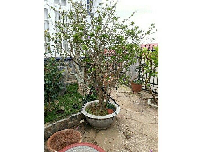 Bán cây lài nhật đẹp rẻ1