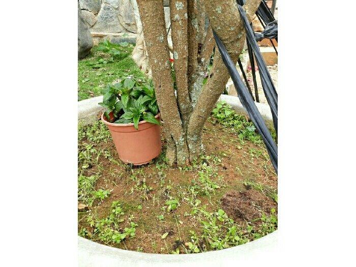 Bán cây lài nhật đẹp rẻ3