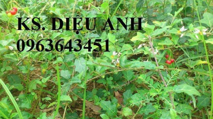 Chuyên cung cấp cây giống, hạt giống cà gai leo số lượng lớn, chất lượng cao, hỗ trợ bao tiêu đầu ra1