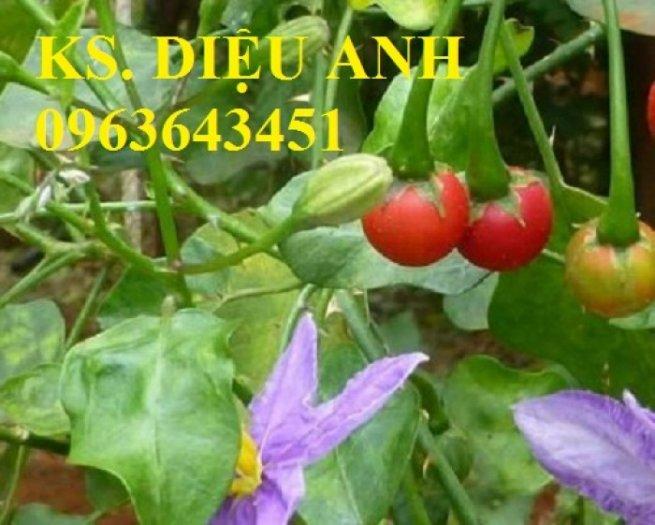 Chuyên cung cấp cây giống, hạt giống cà gai leo số lượng lớn, chất lượng cao, hỗ trợ bao tiêu đầu ra3