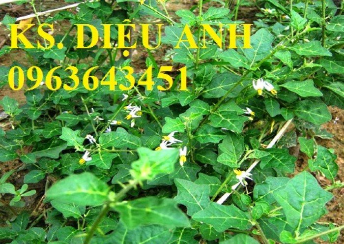 Chuyên cung cấp cây giống, hạt giống cà gai leo số lượng lớn, chất lượng cao, hỗ trợ bao tiêu đầu ra4