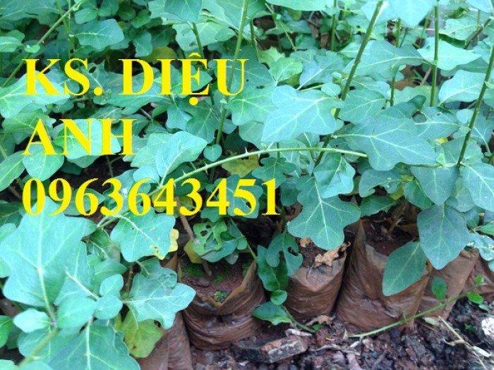 Chuyên cung cấp cây giống, hạt giống cà gai leo số lượng lớn, chất lượng cao, hỗ trợ bao tiêu đầu ra5