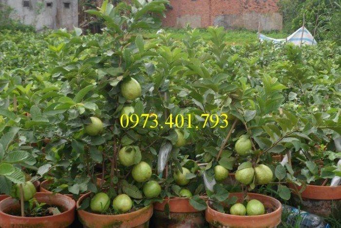 Cung cấp cây giống ổi đài loan uy tín, chất lượng1