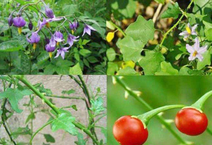 Bán cây giống, hạt giống cây cà gai leo, số lượng lớn, giao cây toàn quốc.2