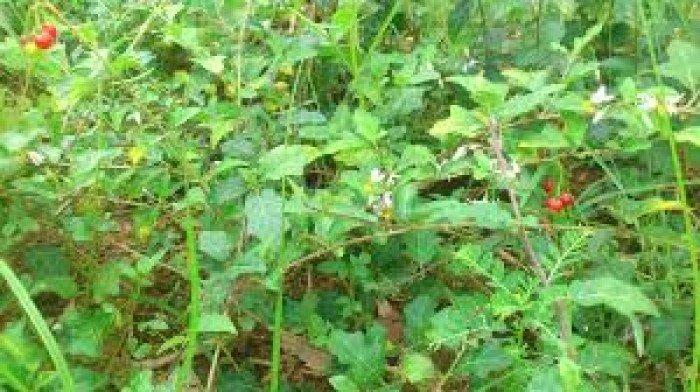 Bán cây giống, hạt giống cây cà gai leo, số lượng lớn, giao cây toàn quốc.3