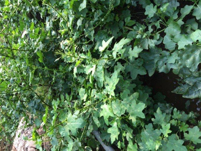 Bán cây giống, hạt giống đẳng sâm, số lượng lớn, giao cây toàn quốc3