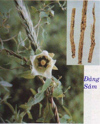 Bán cây giống, hạt giống đẳng sâm, số lượng lớn, giao cây toàn quốc5