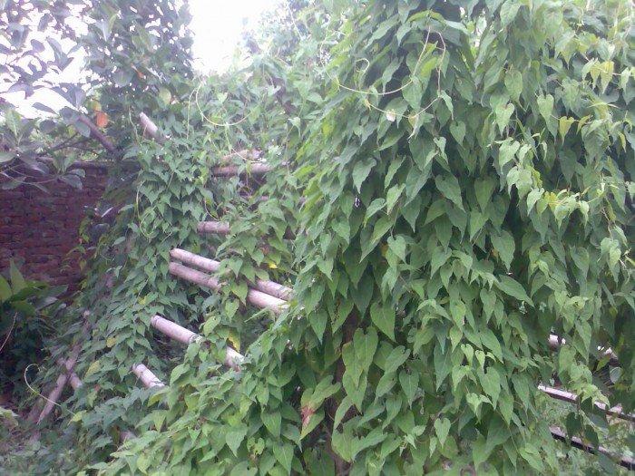 Bán cây giống hà thủ ô đỏ, số lượng lớn, giao cây toàn quốc.1