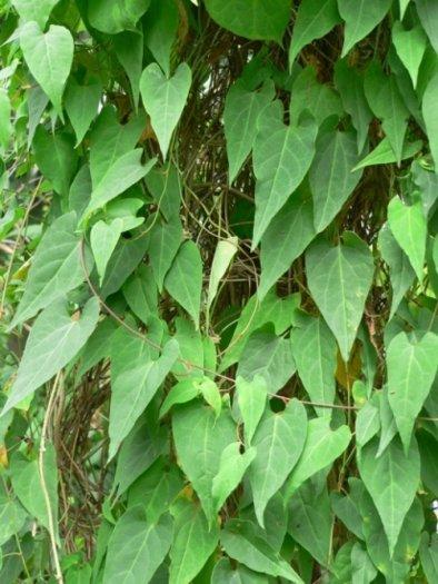 Bán cây giống hà thủ ô đỏ, số lượng lớn, giao cây toàn quốc.2