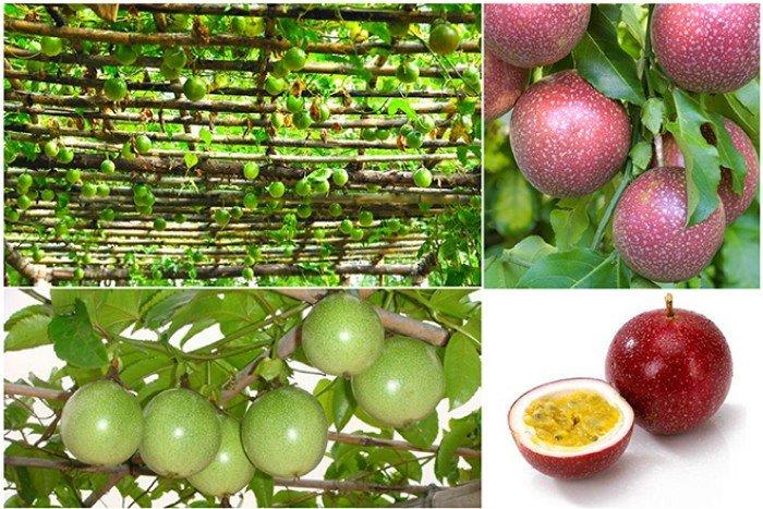 Chuyên cung cấp giống cây chanh dây,giống cây chanh leo,chanh dây,chanh leo,chanh1