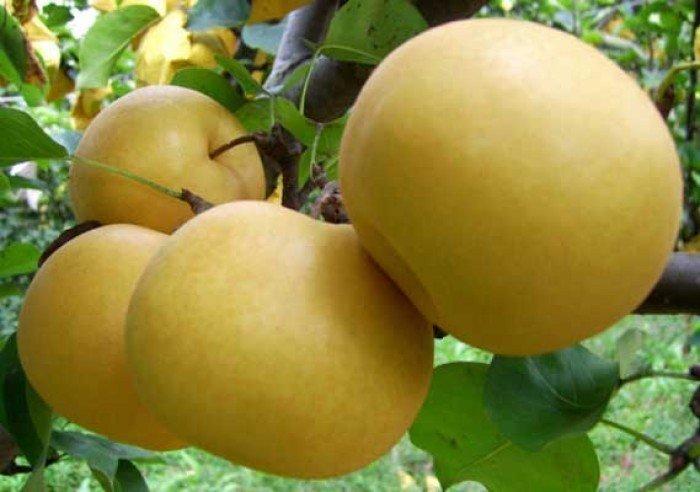 Cây giống lê vàng, chuẩn giống, số lượng lớn, giao cây toàn quốc0