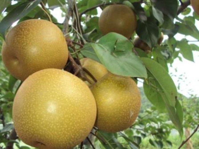 Cây giống lê vàng, chuẩn giống, số lượng lớn, giao cây toàn quốc2