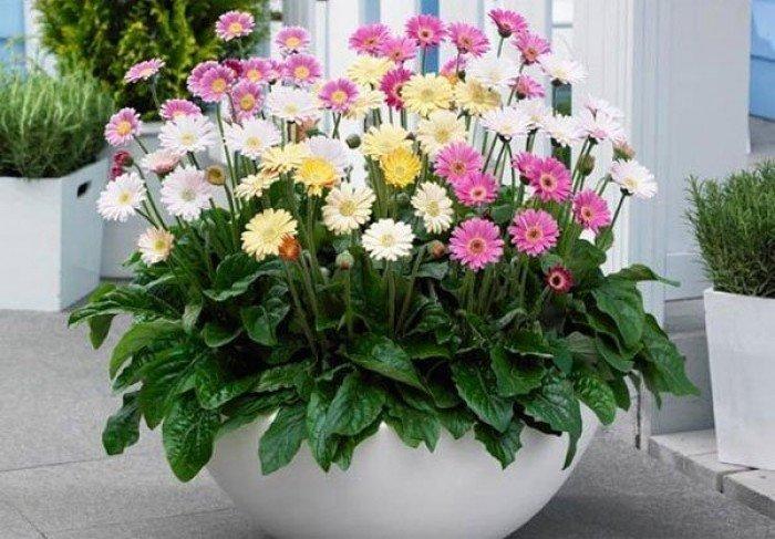 Bán cây giống hoa đồng tiền nuôi cấy mô, số lượng lớn, giao cây toàn quốc1