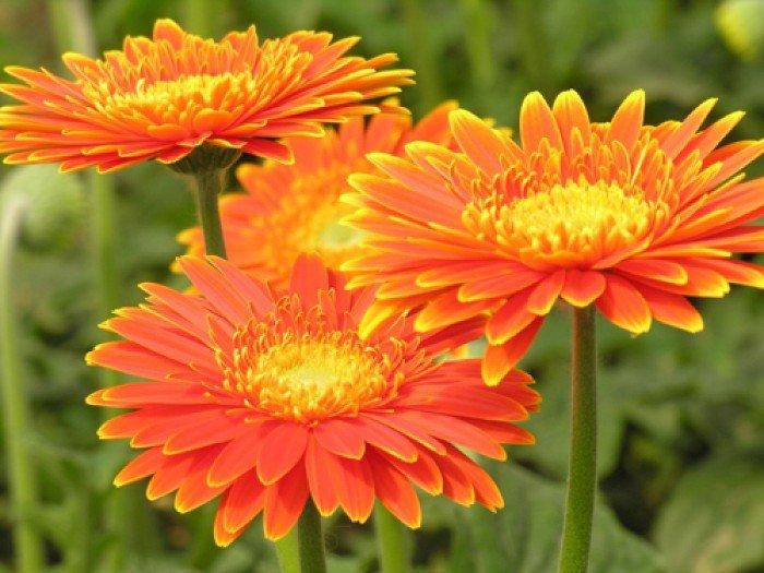 Bán cây giống hoa đồng tiền nuôi cấy mô, số lượng lớn, giao cây toàn quốc4