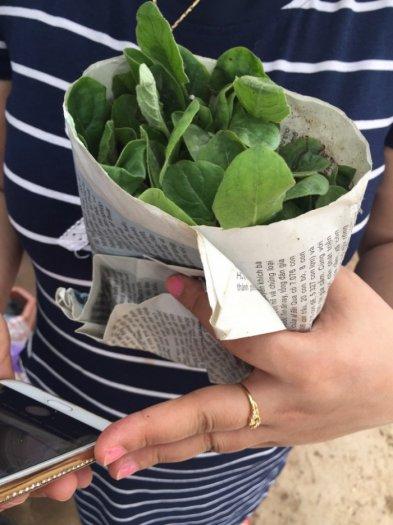 Bán cây giống hoa đồng tiền nuôi cấy mô, số lượng lớn, giao cây toàn quốc9