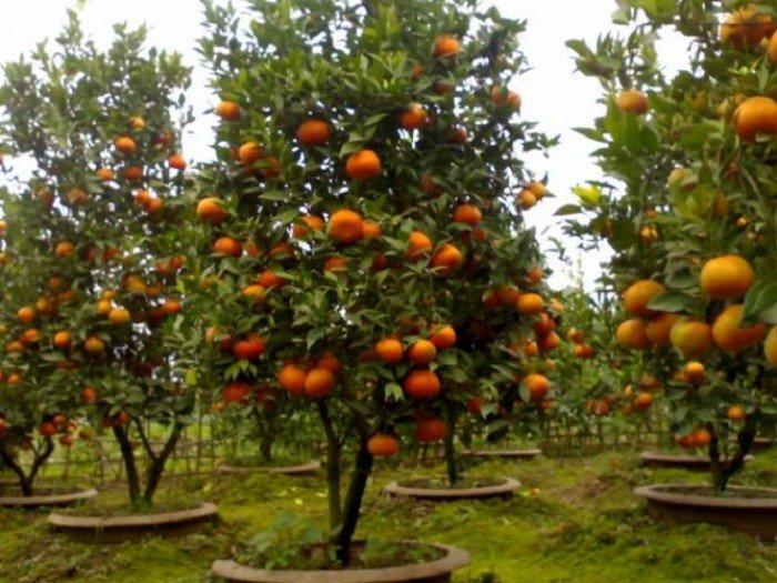 Cây giống cam canh, cam đường canh, chuẩn giống, số lượng lớn2